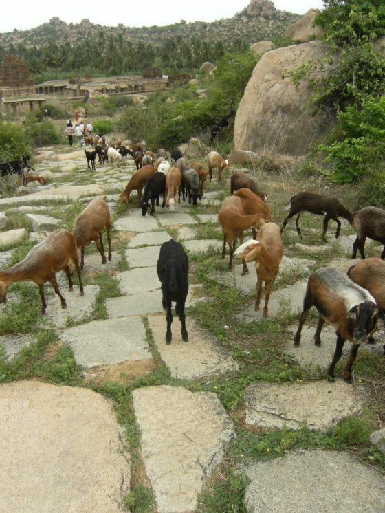 Indian goats